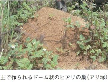 ヒアリのアリ塚