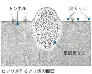 ヒアリのアリ塚(断面図)
