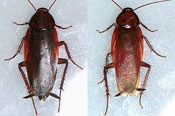 ゴキブリの画像 p1_4